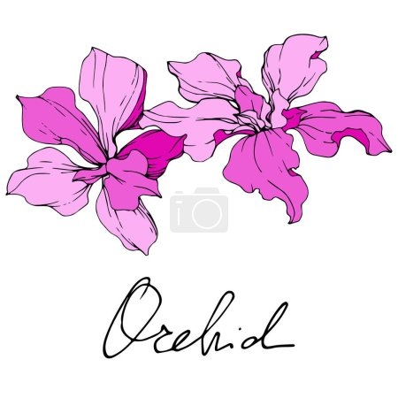 Illustration for Beautiful pink orchid flowers engraved ink art. Isolated orchids illustration element on white background. - Royalty Free Image