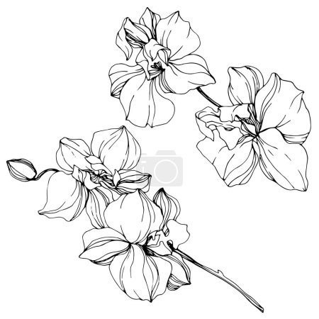 Illustration for Beautiful black and white orchid flowers engraved ink art. Isolated orchids illustration element on white background. - Royalty Free Image