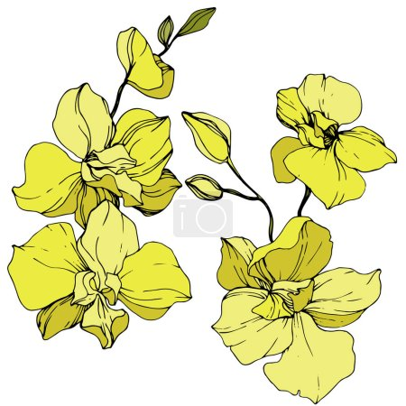 Illustration for Beautiful yellow orchid flowers. Engraved ink art. Isolated orchids illustration element on white background. - Royalty Free Image