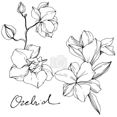 Illustration for Beautiful orchid flowers. Black and white engraved ink art. Isolated orchids illustration element on white background. - Royalty Free Image