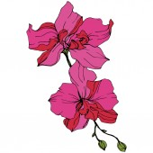 Beautiful pink orchid flowers Engraved ink art Orchids illustration element on white background