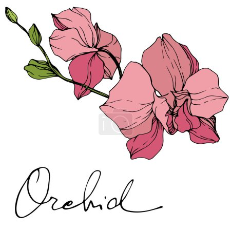 Illustration for Beautiful pink orchid flowers. Engraved ink art. Orchids illustration element on white background. - Royalty Free Image