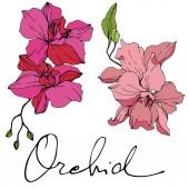 """Постер, картина, фотообои """"Красивые розовые цветки орхидеи. Гравированные чернила искусство. Орхидеи иллюстрации элемент на белом фоне."""""""
