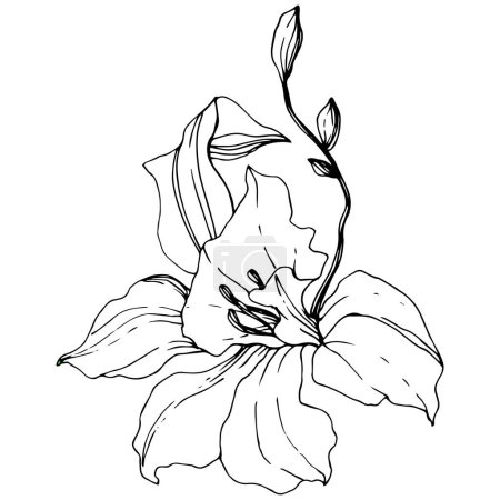 Illustration for Beautiful orchid flower. Black and white engraved ink art. Isolated orchid illustration element on white background. - Royalty Free Image