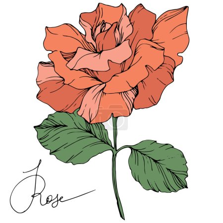 Beautiful coral rose flower with green leaves isolated on white background. Engraved ink art.