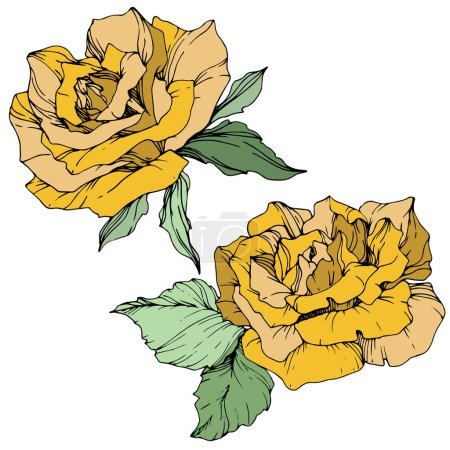 Illustration for Beautiful yellow rose flowers with green leaves. Isolated roses illustration element. Engraved ink art. - Royalty Free Image