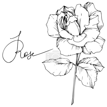 Beautiful vector rose flower isolated on white background. Black and white engraved ink art.