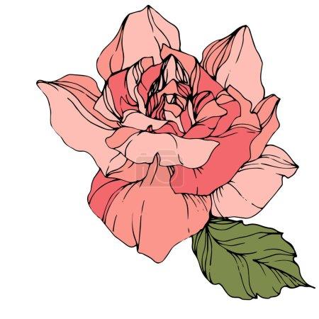 Illustration for Beautiful pink rose flower isolated on white. Rose illustration element. Engraved ink art. - Royalty Free Image