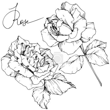 Beautiful vector rose flowers isolated on white background. Black and white engraved ink art.