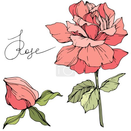 Illustration for Beautiful pink rose flowers isolated on white. Roses illustration element. Engraved ink art. - Royalty Free Image