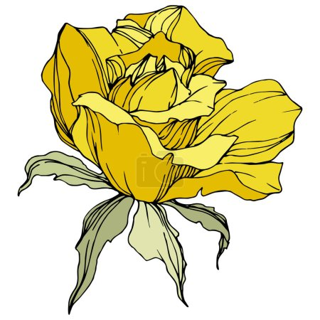 Illustration for Beautiful yellow rose flower with green leaves. Isolated rose illustration element. Engraved ink art. - Royalty Free Image
