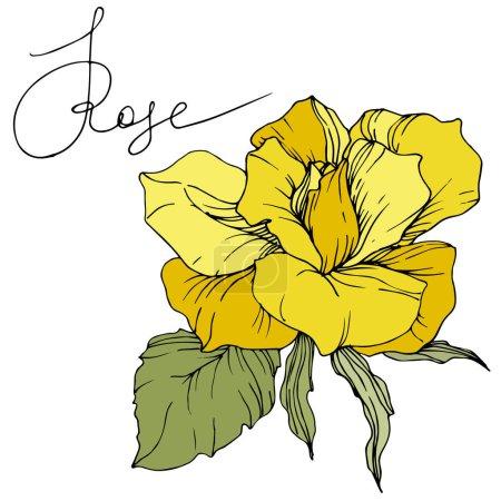 schöne gelbe Rosenblüte mit grünen Blättern. Isoliertes Rosenillustrationselement. Tuschebilder.