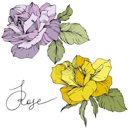 Illustration for Vector. Purple and yellow rose flowers isolated on white background. Green leaves. Engraved ink art. - Royalty Free Image