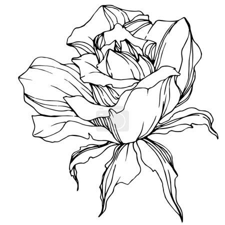 Illustration for Beautiful vector rose flower isolated on white background. Black and white engraved ink art. - Royalty Free Image