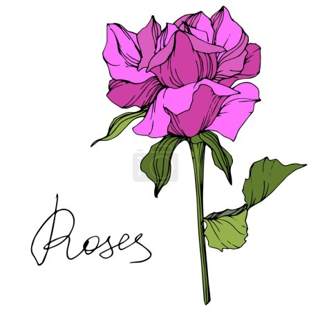 Illustration for Vector. Beautiful purple rose flower with green leaves isolated on white background. Engraved ink art. - Royalty Free Image