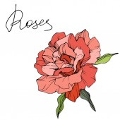 Beautiful coral rose flower with green leaves isolated on white background Engraved ink art