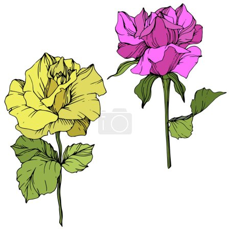 Beautiful yellow and purple rose flowers isolated on white. Roses illustration element. Engraved ink art.
