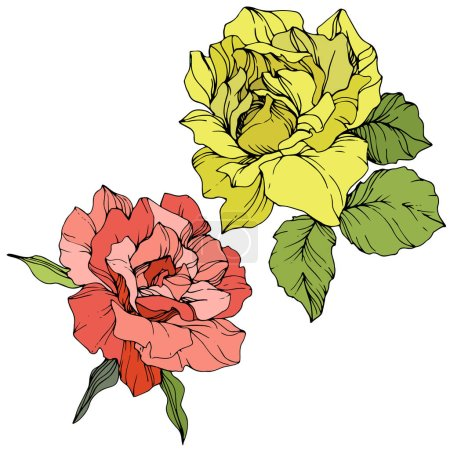 Illustration for Beautiful red and yellow rose flowers isolated on white. Roses illustration element. Engraved ink art. - Royalty Free Image