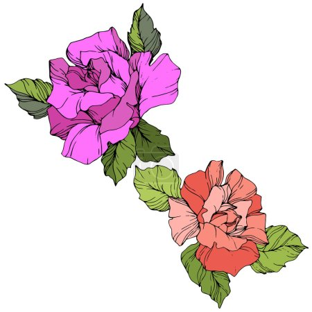 Vector. Purple and coral rose flowers with green leaves isolated on white background. Engraved ink art.