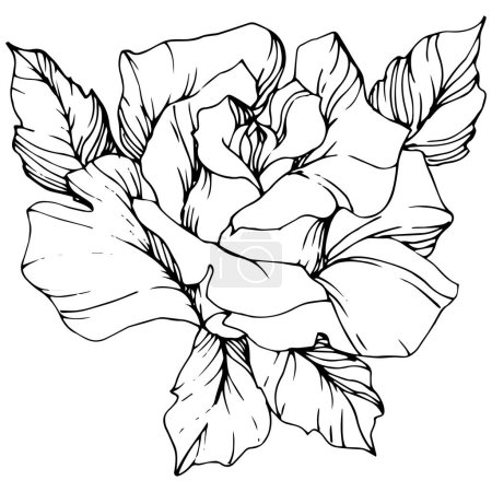 Vector. Rose flower isolated illustration element on white background. Black and white engraved ink art