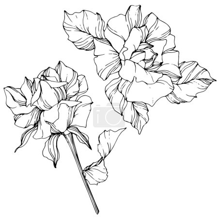 Illustration for Vector. Rose flowers isolated illustration element on white background. Black and white engraved ink art - Royalty Free Image