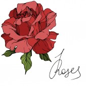 Vector red rose flower with green leaves isolated on white background Engraved ink art