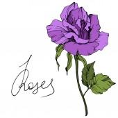 Vector Beautiful purple rose flower with green leaves isolated on white background Engraved ink art