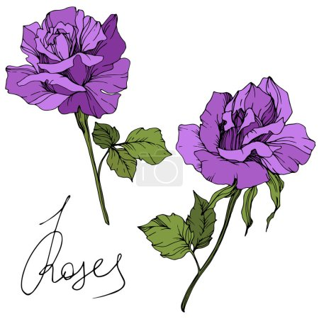 Vector. Beautiful purple rose flowers with green leaves isolated on white background. Engraved ink art.