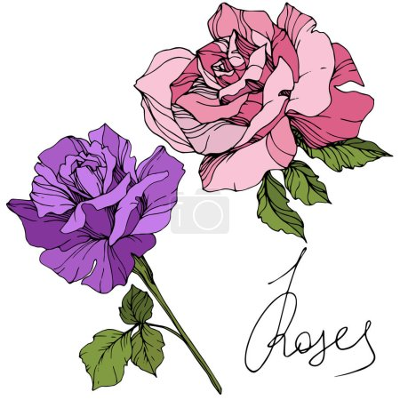 Illustration for Vector. Purple and pink rose flowers with green leaves isolated on white background. Engraved ink art. - Royalty Free Image