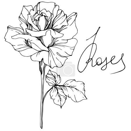 Hermosa flor de rosa vector aislado sobre fondo blanco. Arte de tinta grabada en blanco y negro .