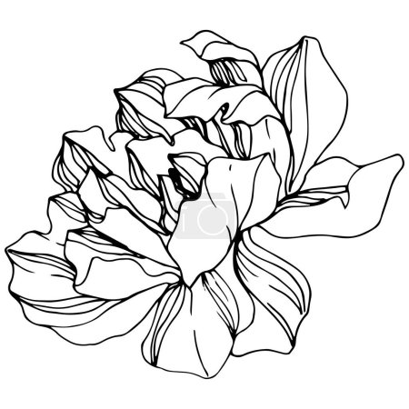 Illustration for Vector Peony. Wildflower isolated on white. Engraved ink art. - Royalty Free Image