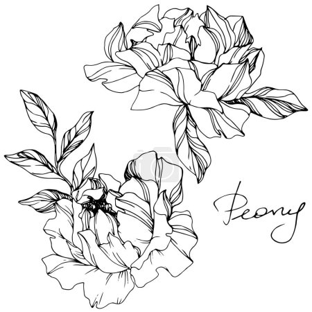 Illustration for Vector Peonies. Wildflowers isolated on white. Engraved ink art. - Royalty Free Image