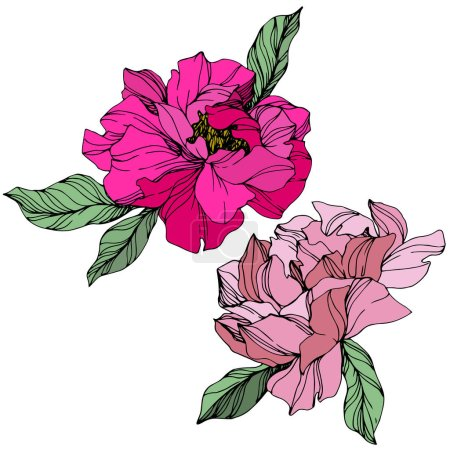 Illustration for Vector Pink peonies. Wildflowers isolated on white. Engraved ink art. - Royalty Free Image