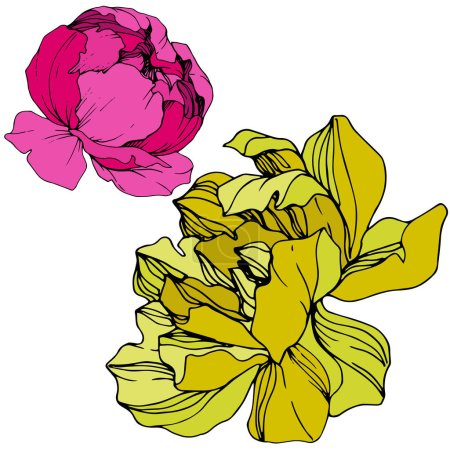 Illustration for Vector Pink and yellow peonies. Wildflowers isolated on white. Engraved ink art. - Royalty Free Image
