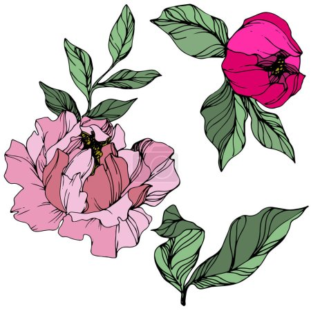 Vector Pink peonies. Wildflowers isolated on white. Engraved ink art.