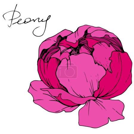 Illustration for Vector Pink peony. Wildflower isolated on white. Engraved ink art with 'peony' lettering - Royalty Free Image