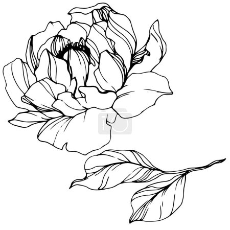 Illustration for Vector Peony. Wildflower isolated on white. Black and white engraved ink art - Royalty Free Image