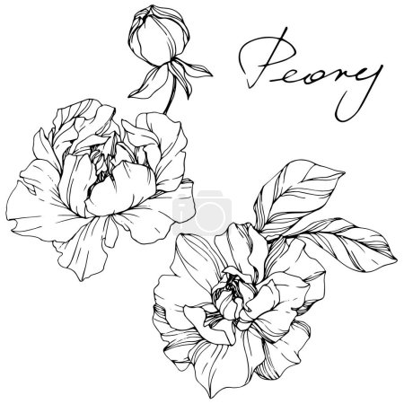 Illustration for Vector Peonies. Wildflowers isolated on white. Black and white engraved ink art with 'peony' lettering - Royalty Free Image