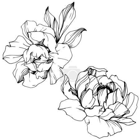 Vector Peonies. Wildflowers isolated on white. Black and white engraved ink art