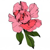 Vector Pink peony Wildflower isolated on white Engraved ink art