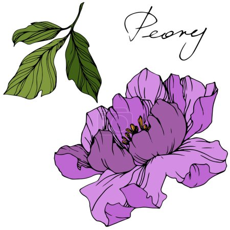 Illustration for Vector purple peony. Wildflower isolated on white. Engraved ink art with 'peony' lettering - Royalty Free Image