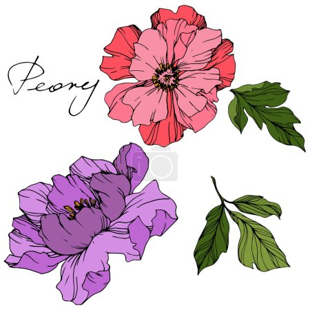 Illustration for Vector Pink and purple peonies. Wildflowers isolated on white. Engraved ink art with 'peony' lettering - Royalty Free Image