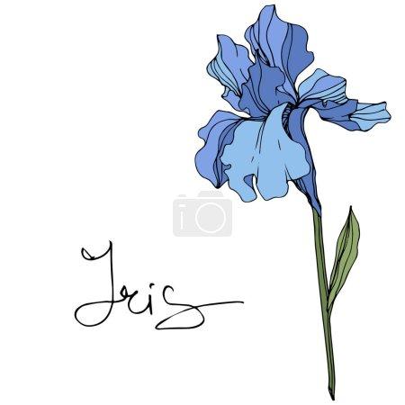 Illustration pour Fleur d'iris bleu vecteur. Fleurs sauvages isolées sur blanc. Encre gravée avec lettrage 'iris' - image libre de droit