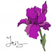 Vector purple iris flower Wildflower isolated on white Engraved ink art with 'iris' lettering