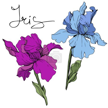Illustration for Vector blue and purple irises. Wildflowers isolated on white. Engraved ink art with 'iris' lettering - Royalty Free Image