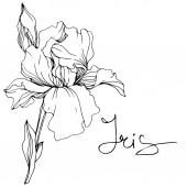 Vector Iris flower Wildflower isolated on white Black and white engraved ink art with 'iris' lettering