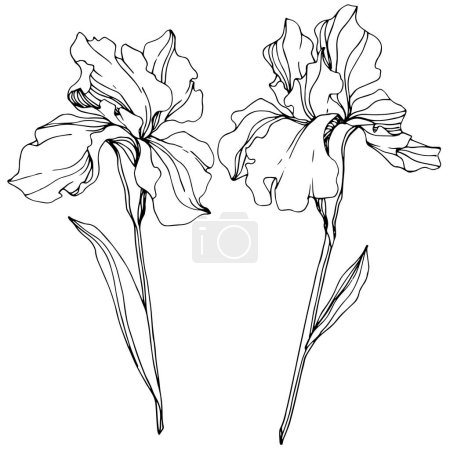 Illustration for Vector Iris flowers. Wildflowers isolated on white. Black and white engraved ink art. - Royalty Free Image