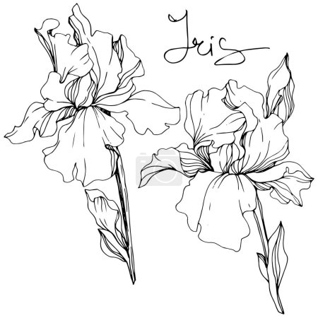 Illustration for Vector Iris flowers. Wildflowers isolated on white. Black and white engraved ink art with 'iris' lettering - Royalty Free Image