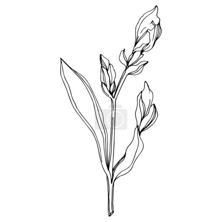 Illustration for Vector bud Iris flower. Wildflower isolated on white. Black and white engraved ink art. - Royalty Free Image