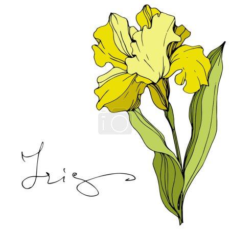 Illustration pour Iris jaune vecteur isolé sur blanc. Encre gravée avec lettrage 'iris' - image libre de droit